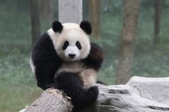 Playful Panda Cub in Chongqing, China Stock Image