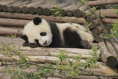 Giant panda cub sleeping. In Chengdu, China Royalty Free Stock Photos
