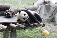 Playful Panda Cub in Chongqing, China Stock Images