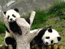 Giant Panda Cubs Royalty Free Stock Image