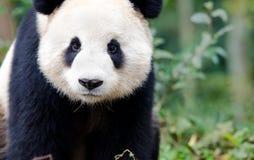 Giant Panda curious look, Chengdu, Szechuan, China Royalty Free Stock Image