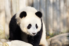 Giant Panda Drinking Water, Chengdu, China Stock Photography
