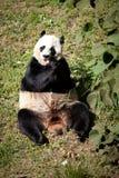 Giant Panda eating. At the Washington DC Zoo Royalty Free Stock Photography