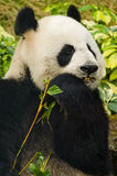 Giant Panda Eating royalty free stock image