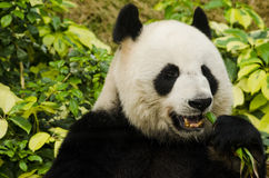 Giant Panda Eating Royalty Free Stock Photo