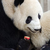 Giant Panda Eating Apple. Chengdu, China Stock Photos