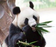 Giant panda eating bamboo. An giant panda is eating bamboo leaf Stock Photos