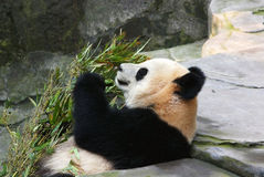 Giant panda eating bamboo Stock Image