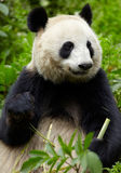 Giant panda eating bamboo Royalty Free Stock Photography