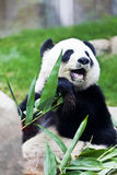 Giant panda eating bamboo Royalty Free Stock Photos