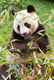 Giant panda stock image