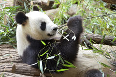 Giant panda eating bamboo Stock Photography