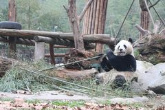 Giant panda is eating bamboo, Bifengxia Nature Reserve, Sichuan Province vector illustration