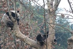 Giant panda is eating bamboo, Bifengxia Nature Reserve, Sichuan Province stock image