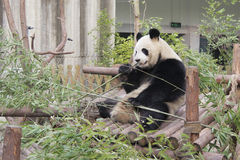 Giant panda eating bamboo Stock Photo