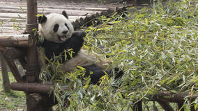 Giant panda eating bamboo Royalty Free Stock Images