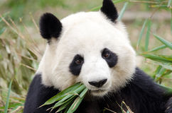 Giant Panda eating bamboo, Chengdu, China stock photo