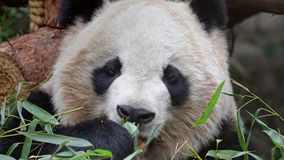 Giant panda eating bamboo stock video footage