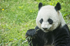 Giant panda while eating bamboo Stock Photos