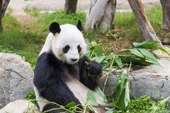 Giant Panda Eating Stock Photo