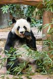 Giant panda eating bamboo Royalty Free Stock Images