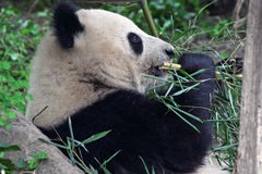 Giant panda eating Stock Photography