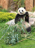 Giant panda eating bamboo leaf Stock Photography