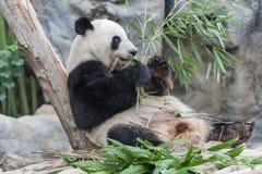 Giant Panda. Eating bamboo leaves Stock Photography