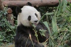 Giant panda eating bamboo leaves Stock Image