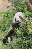 Giant panda eating bamboo leaves Stock Photos