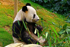 Giant panda Royalty Free Stock Image