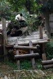 Giant Panda Royalty Free Stock Photography