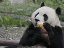 Giant panda eating bamboo shoot Royalty Free Stock Image