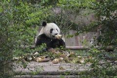 Giant panda eating bamboo shoot Stock Photos