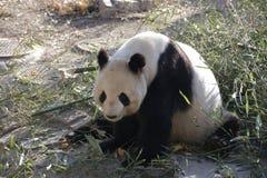 Giant Panda in Beijing Zoo, China. Giant Panda is Eating Bamboo shoot Royalty Free Stock Image