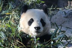 Giant Panda in Beijing Zoo, China. Giant Panda is Eating Bamboo shoot Stock Photography