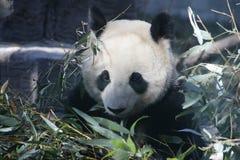 Giant Panda in Beijing Zoo, China. Giant Panda is Eating Bamboo shoot Stock Photos