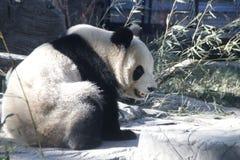 Giant Panda in Beijing Zoo, China. Giant Panda is Eating Bamboo shoot Stock Image