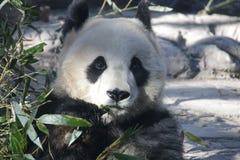 Giant Panda in Beijing Zoo, China. Giant Panda is Eating Bamboo shoot Royalty Free Stock Photography
