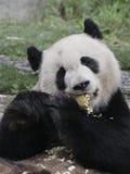 Giant panda eating bamboo shoot Royalty Free Stock Photography