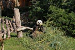 Giant panda eating bamboo summer 2019 royalty free stock images