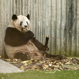 Giant panda eating bamboo Royalty Free Stock Image