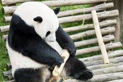 Giant panda eating bamboo at zoo.  Royalty Free Stock Image