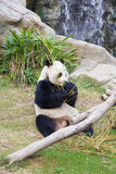 Giant panda eating bamboo in zoo Stock Photography