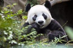 Giant panda eating the bamboo zoo Singapore Royalty Free Stock Photo