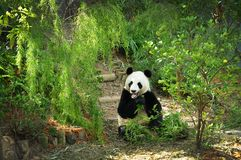 Giant Panda eating. A captive Giant Panda eating in its lush green environment Royalty Free Stock Photos