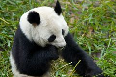 Giant Panda eating food Stock Images