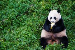 Giant panda eating food some fruit in the middle of green meadow in Smithsonian`s National Zoo sit side of the picture. Close up stock photo