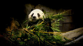 Giant panda. Eating fresh bamboo leaves and stems in its enclosure at ocean park hong kong Stock Photo