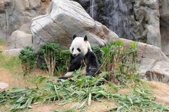 Giant panda is eating green bamboo leaf Stock Photos